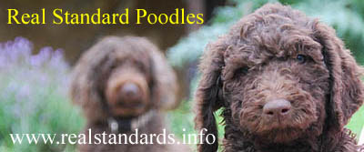 Standard Poodles bred 