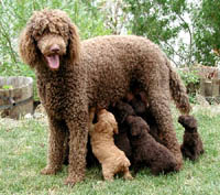Giant Standard Poodle. Click for larger picture.